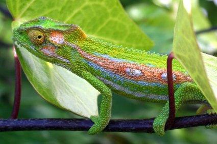 Rainbow chameleon on branch